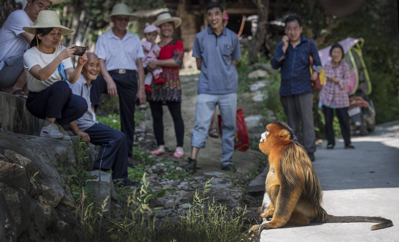 """金丝猴""""串门""""农家"""