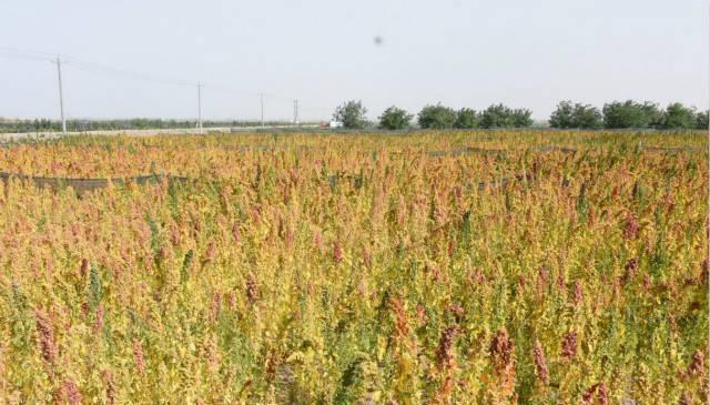 专访朱康健:为什么要重视藜麦?对粮食宁静有重大意义