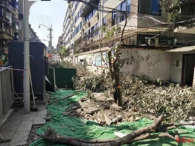 成都桂花树被砍事件处理决定公布:依法依规作出处理