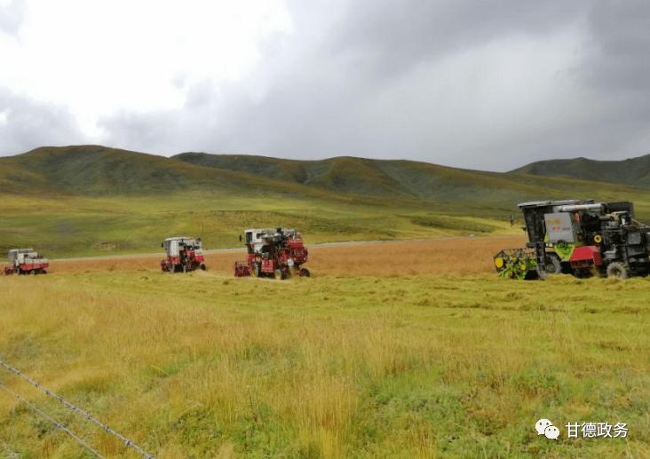 今年的万亩饲草基地已经开始收割牧草,