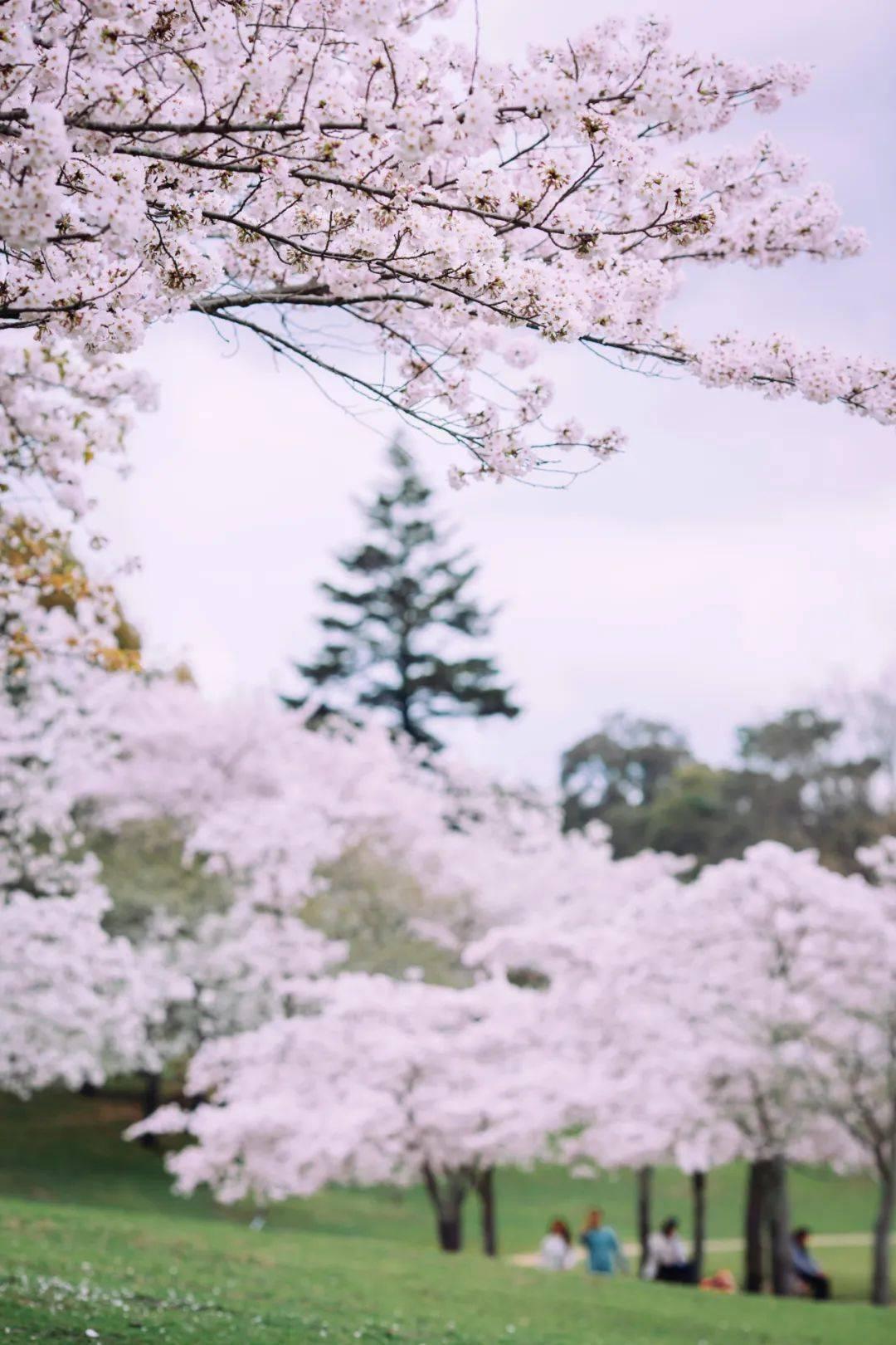 在日本,一边赏红叶,一边吃红叶
