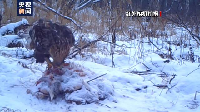 恒达首页小兴安岭首次找到东北虎吃熊珍贵影像证据,现场留有虎的卧迹 (图20)