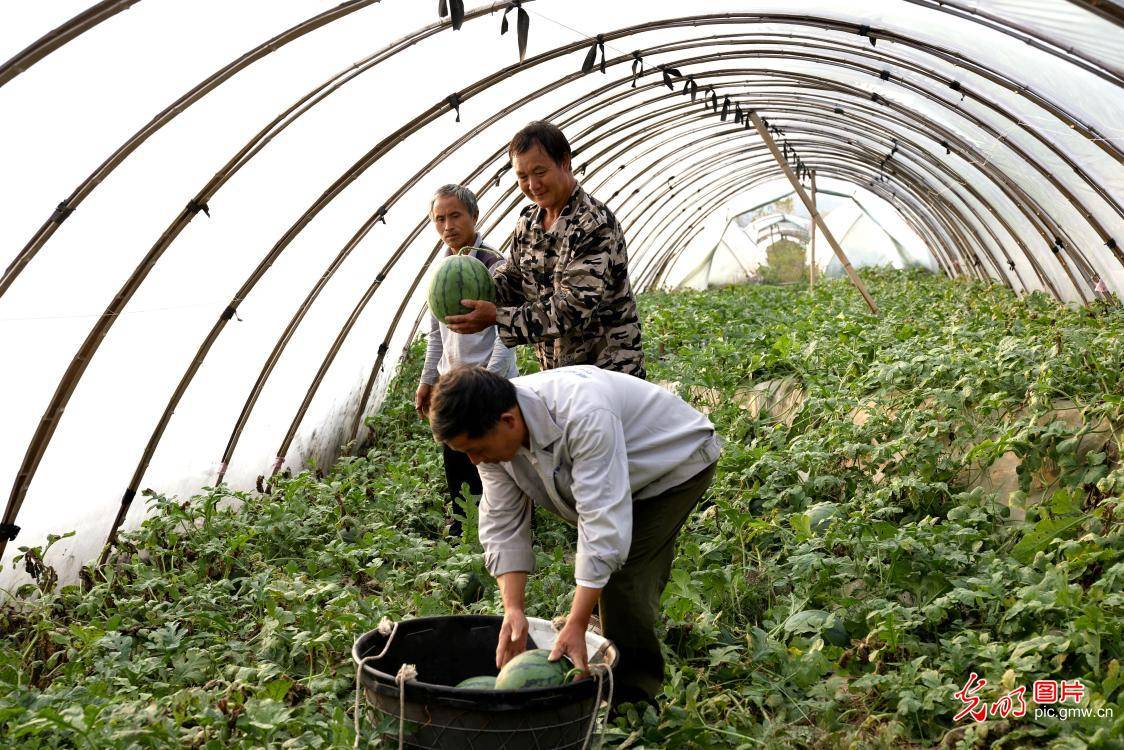 Watermelons harvested in Fenyi, E China's Jiangxi Province