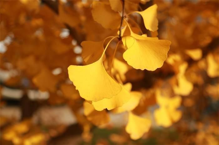"""稀奇!世界最古老银杏树遭雷劈后自愈 成当地一大""""打卡""""景点"""