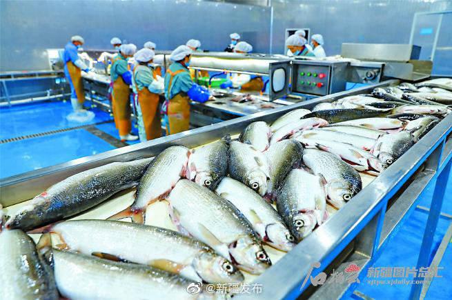 从培育鱼苗到精深加工 创新托起高白鲑产业