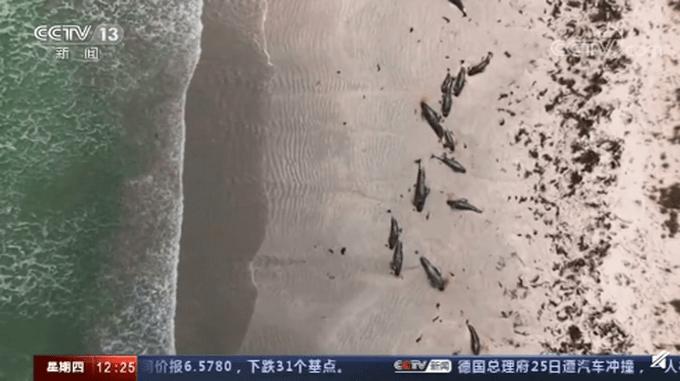 新西兰近百头鲸集体搁浅海滩死亡,网友:看着好难受