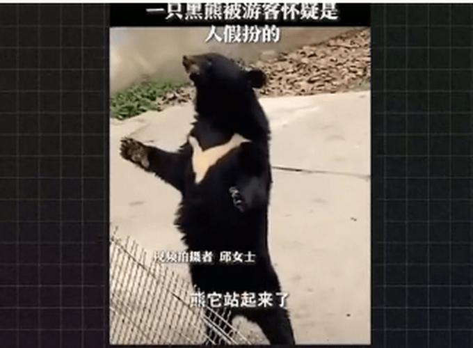 被怀疑是人扮的,这只熊火了!饲养员却担心这件事