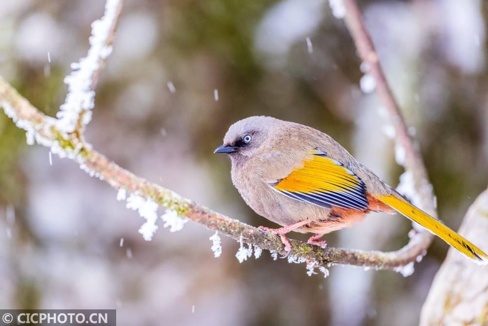 重庆南川:雪中精灵