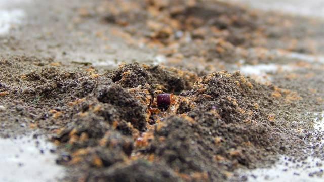 红火蚁入侵全国435个县市区,药剂灭杀效果被指不乐观