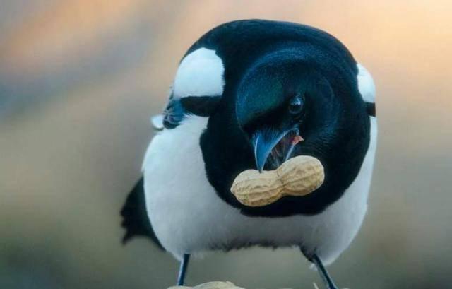 喜鹊吃什么食物(喜鹊吃生大米吗)