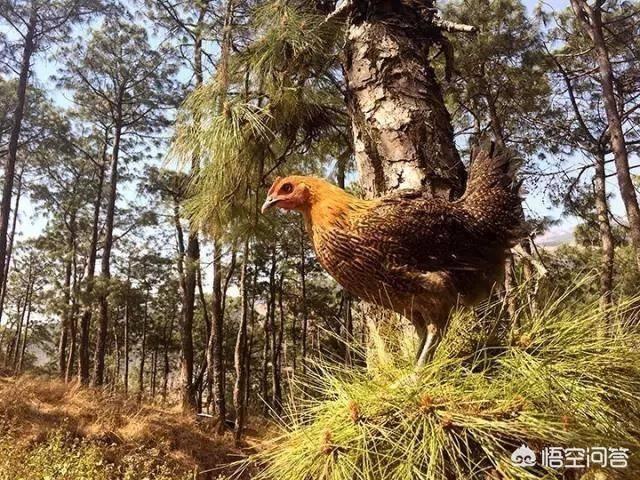 散养土鸡养殖技术,新手必看!