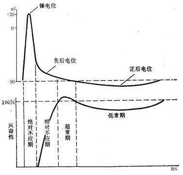 动作电位的特点(静息电位和动作电位的特点)