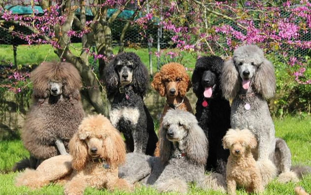 巨型泰迪犬多少钱一只(巨型泰迪犬为什么这么贵)插图(2)