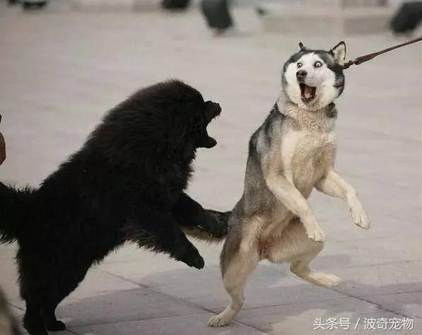中国一共有多少种狗(狗狗品种介绍大全插图(8)