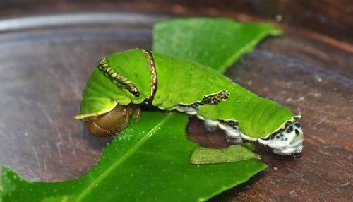 柑橘凤蝶幼虫有毒吗(柑橘凤蝶幼虫的危害有哪些)插图(2)