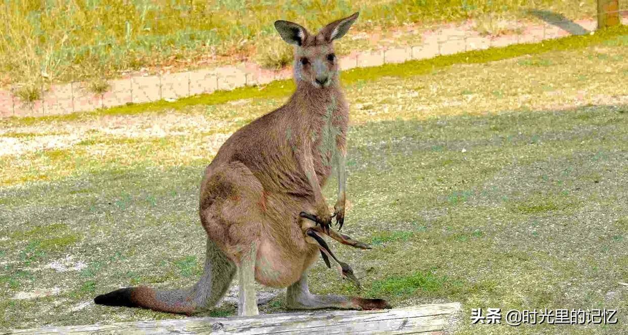 考拉是什么动物的别称(为何澳大利亚国徽不是考拉呢)插图(2)