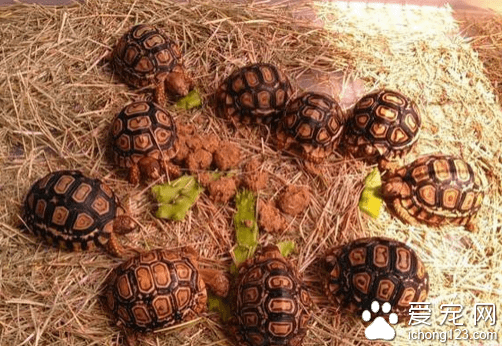 豹龟的饲养方法(教大家如何正确饲养豹龟)插图