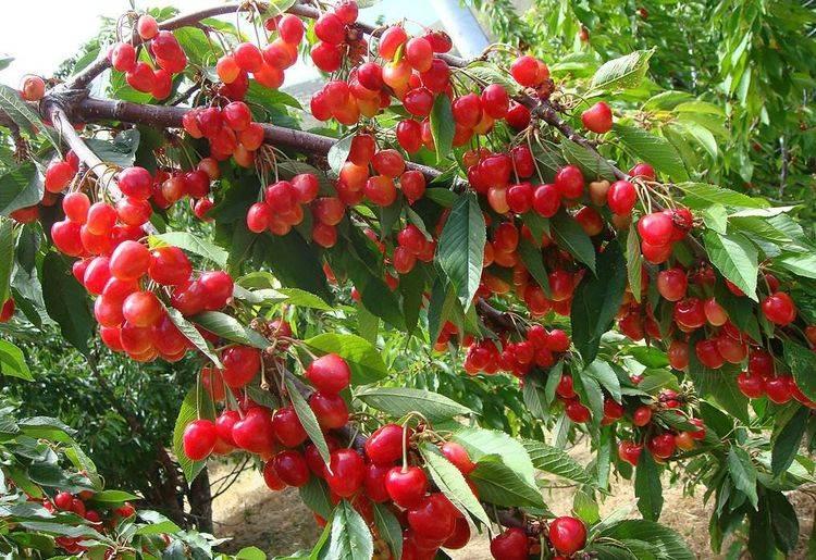 樱桃长在树上吗图片