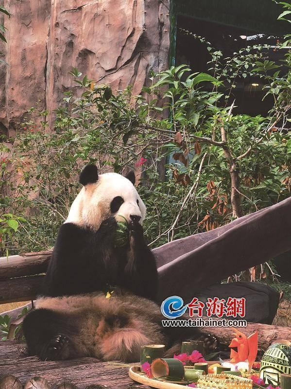 """大熊猫""""思念""""和""""思筠筠""""在厦门乐享""""尾牙宴"""""""