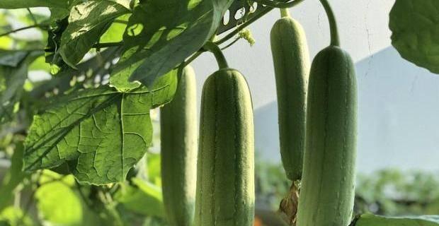 丝瓜的5种吃法,包管你的一个夏天!有一类人最好要少吃