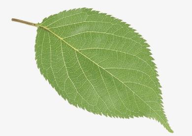 心理测试:凭直觉选一个树叶,测出你心中最难忘的人是谁?