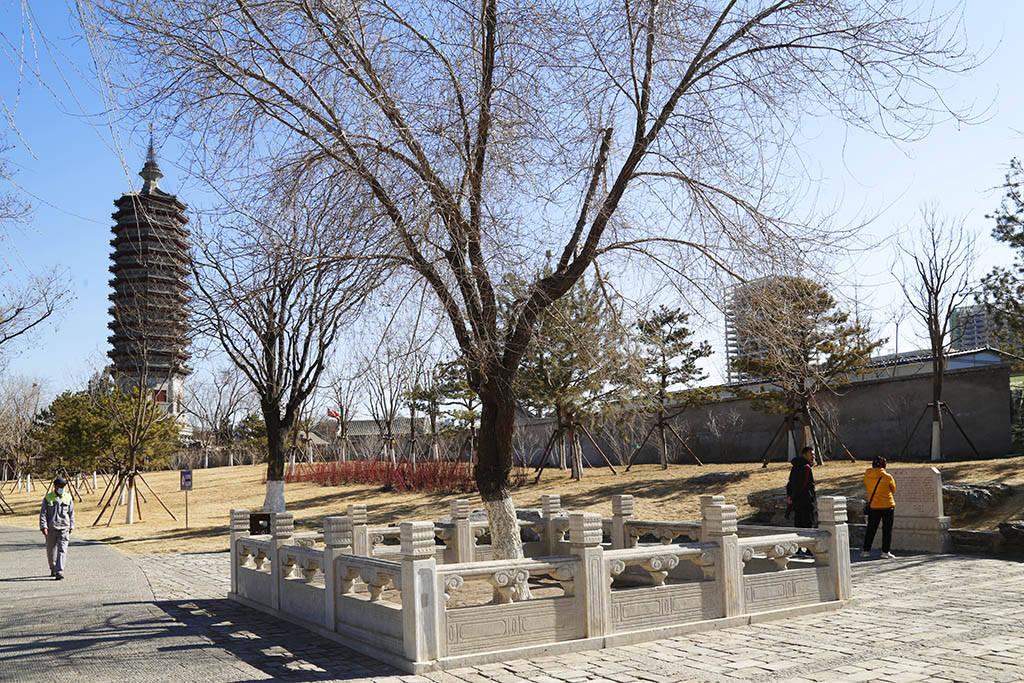 原创             生长在塔顶近300年的榆树,主干直径只有17厘米,如今依然枝繁叶茂