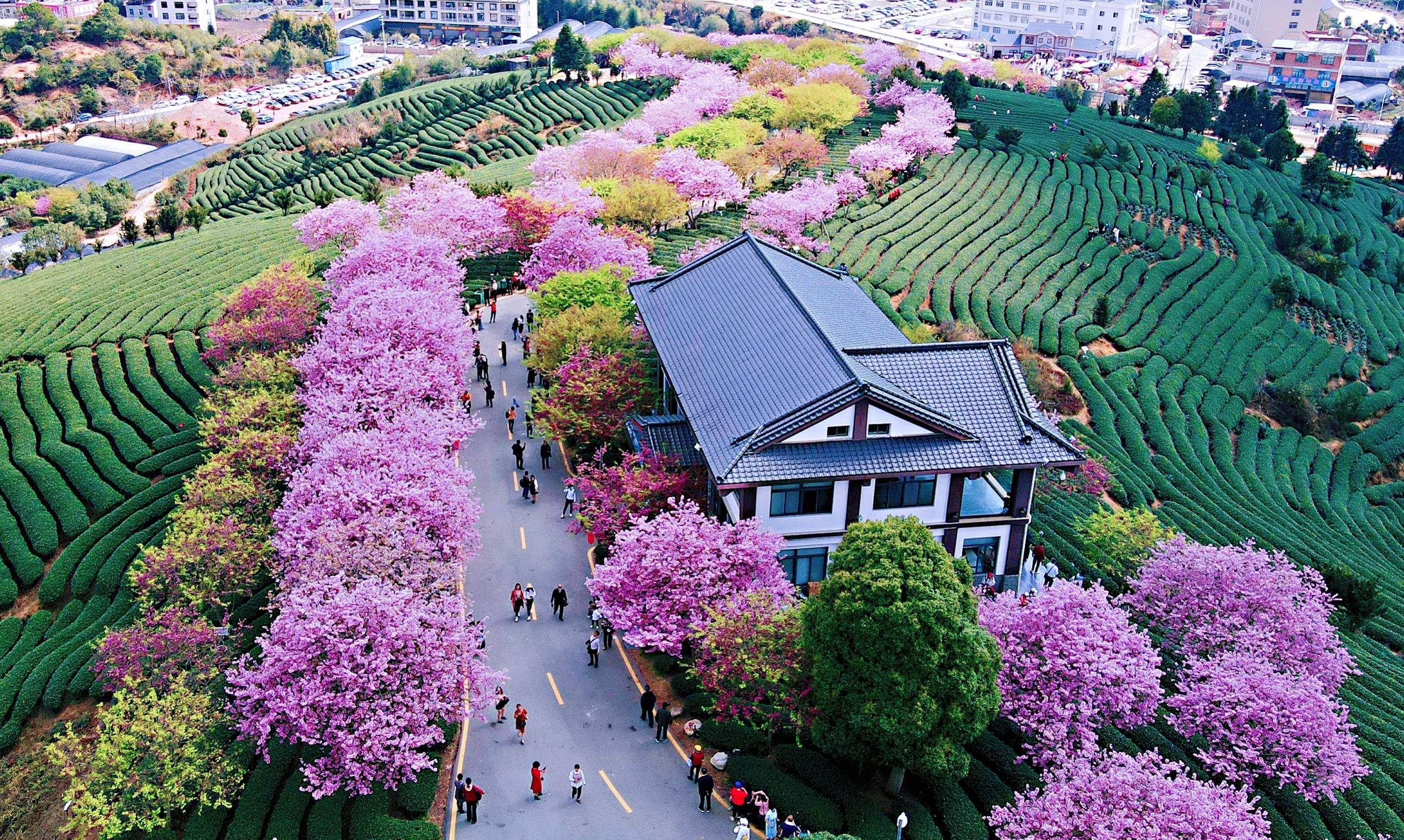 794e51e9db9a41a6b3b14199c09615b1 - A guide to viewing cherry blossoms in Fujian, China's most beautiful cherry blossom sacred land, Alishan on the mainland_台品- Sohu
