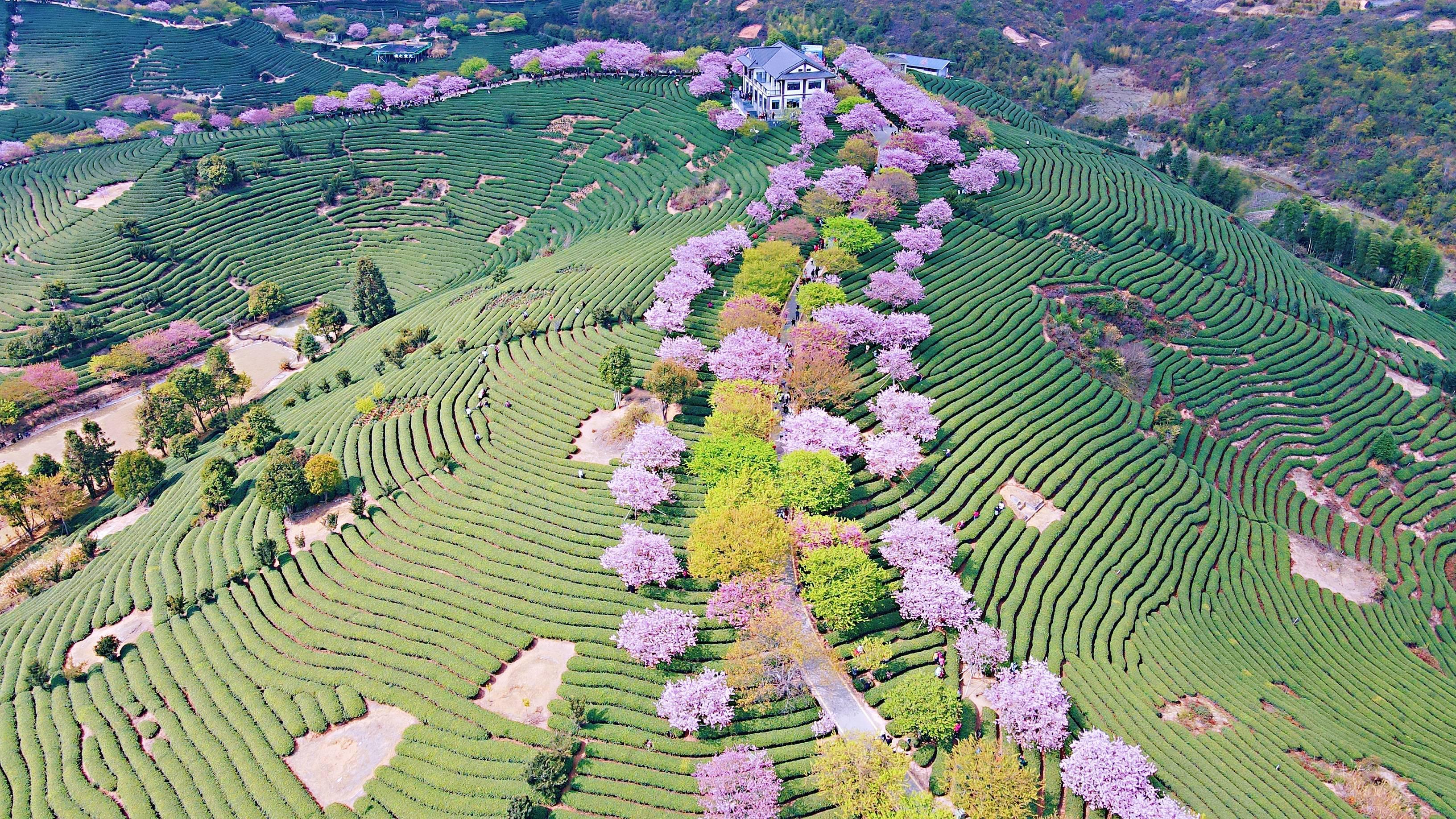 b514436ab9404d0b91a409f1449d03f8 - A guide to viewing cherry blossoms in Fujian, China's most beautiful cherry blossom sacred land, Alishan on the mainland_台品- Sohu