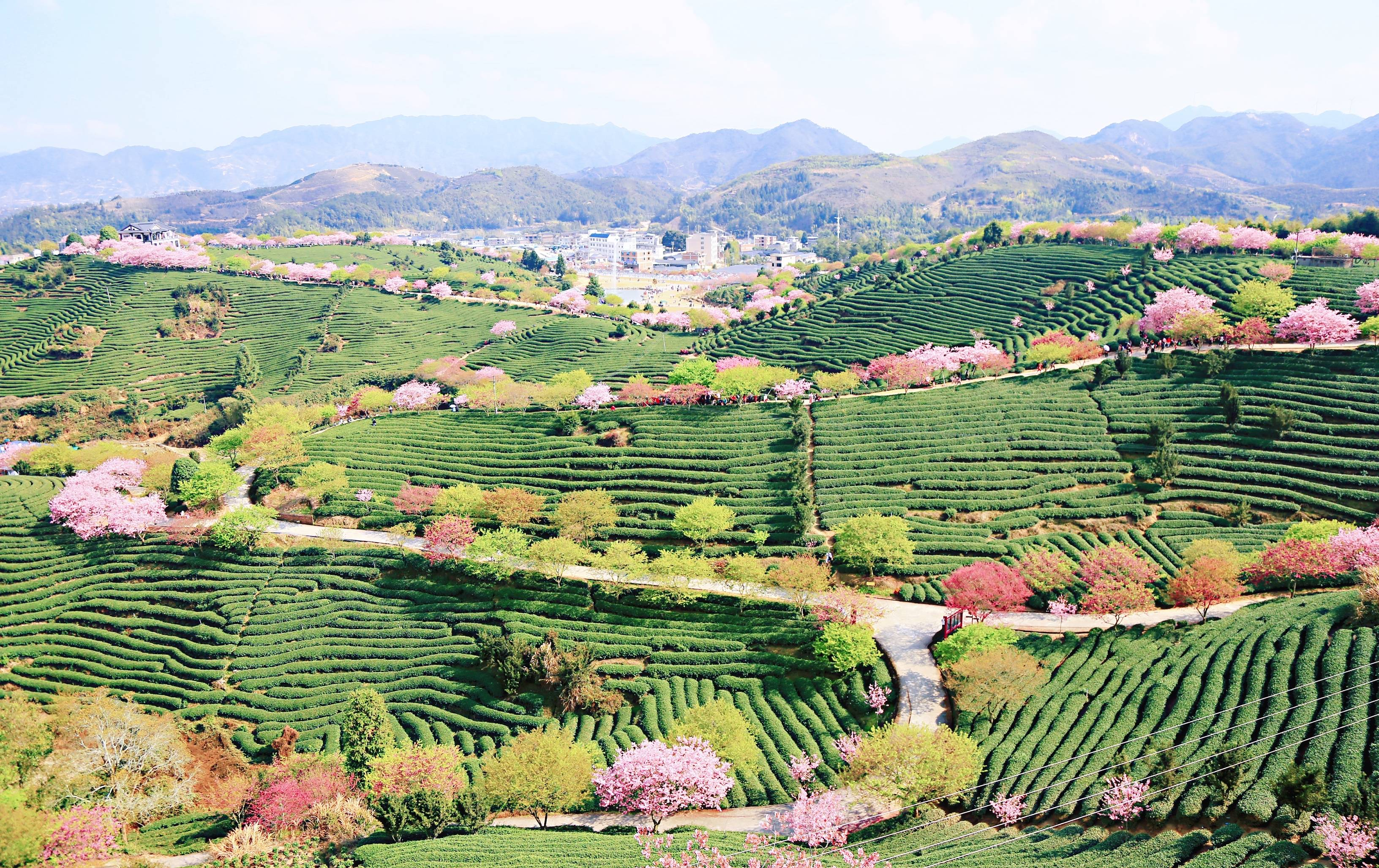 e2ad4d4eae2b43099bbb40d1dd5ab904 - A guide to viewing cherry blossoms in Fujian, China's most beautiful cherry blossom sacred land, Alishan on the mainland_台品- Sohu