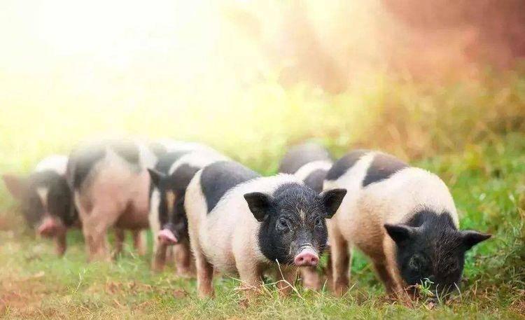【小冰搞笑吧】:第300期不温不火的笑话三则-养猪