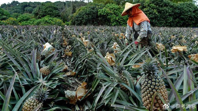 香港或跟进大陆禁台菠萝 多次从菠萝中截获检疫性有害生物