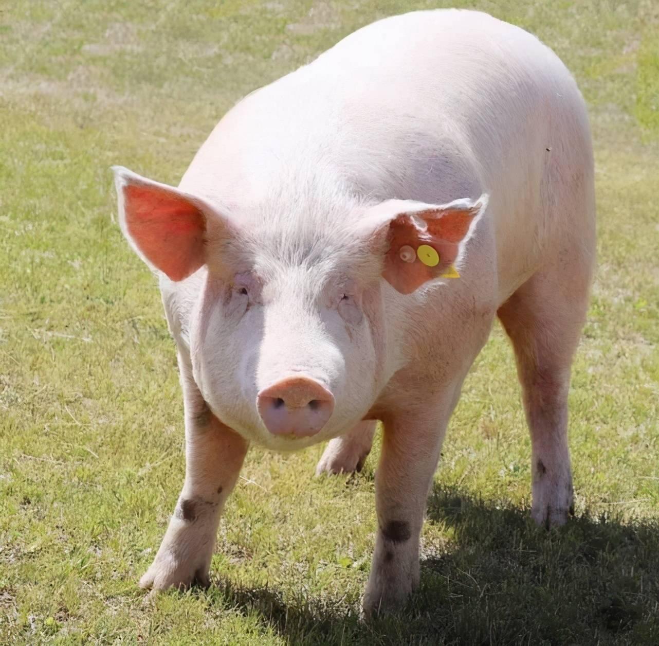 已婚女人梦见白色的猪 梦见一头大白猪追我