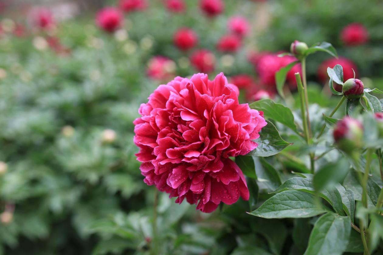 玫瑰芍药蔷薇三部曲 方子狂与玫瑰番外 结局