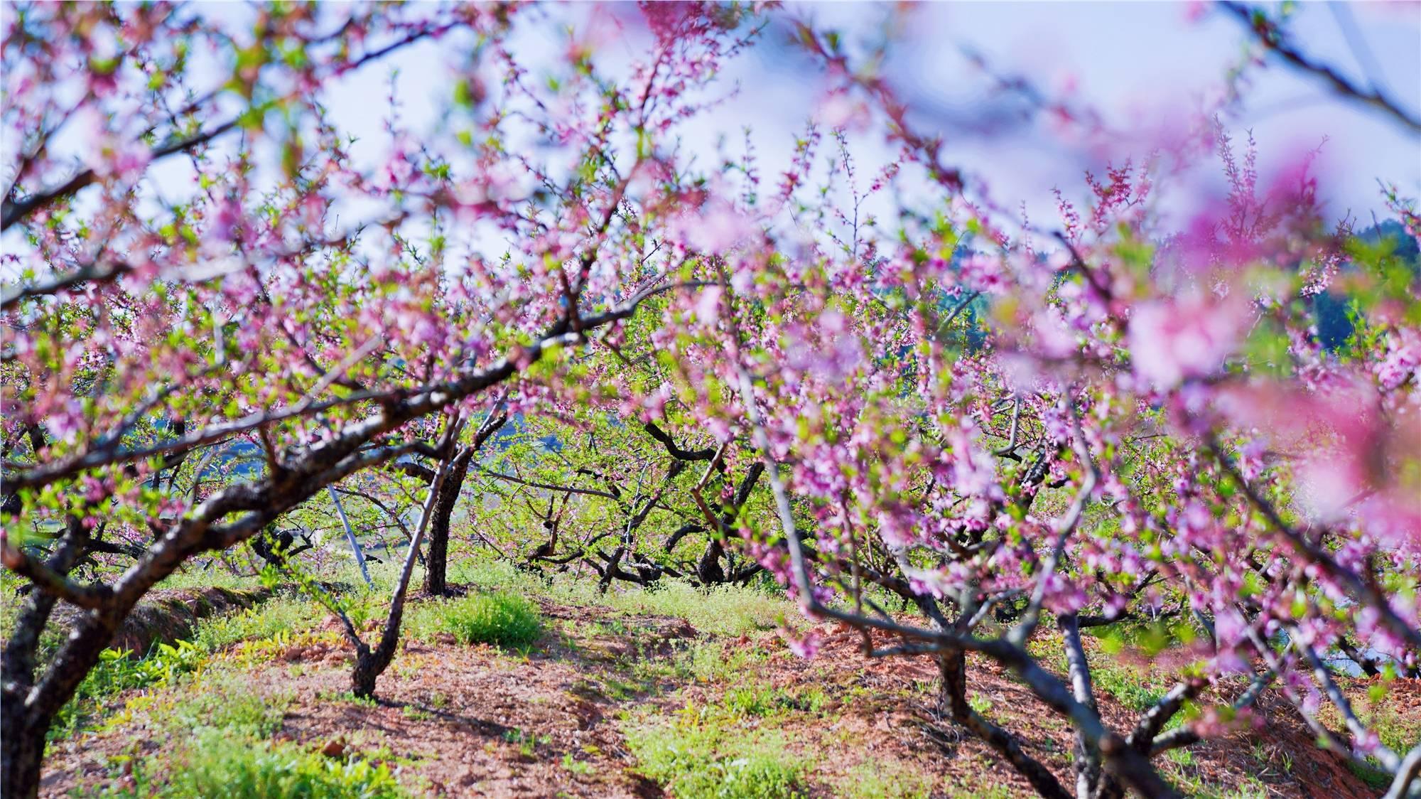 原创             福建有个名副其实的世外桃源,5000多亩果树秘境,建宁版托斯卡纳