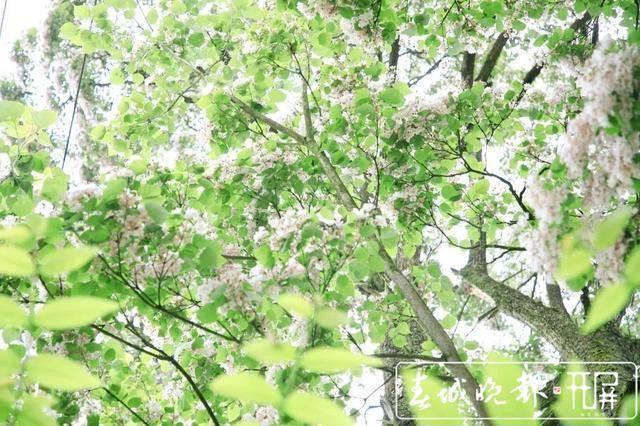 美到心尖!罗平这里一大片楸树花开了