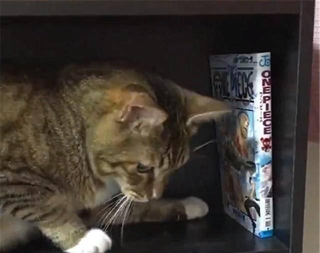 什么|狸花猫在书架上做了个窝,主人回家看到猫咪的新窝后,气到发抖
