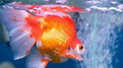 心理测试:哪条金鱼最贵气?测试你最近需要小心什么?