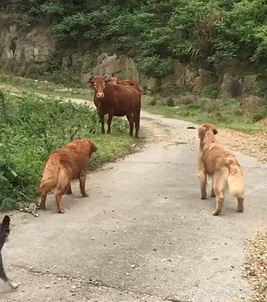 突然被一头黄牛挡住去路 梦见被一头牛挡住去路