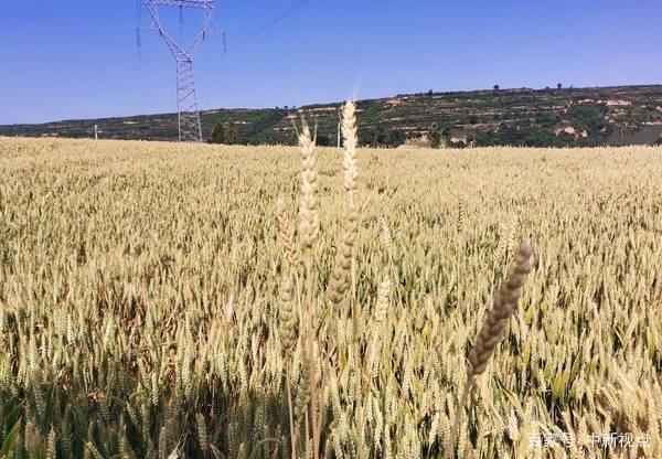 蒲城刘一宁:六月,麦子熟了,期待着收获的喜悦