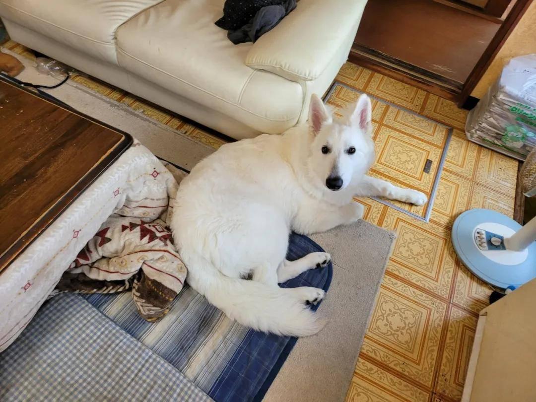 带回家一只漂亮小白狗,三个月后…