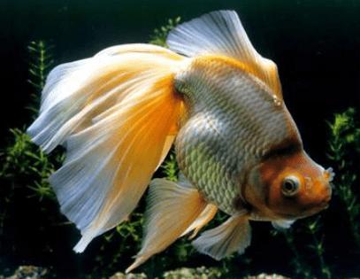 心理测试:假如有4只金鱼,你会养哪只?测你近期身边有什么好事发生  第2张