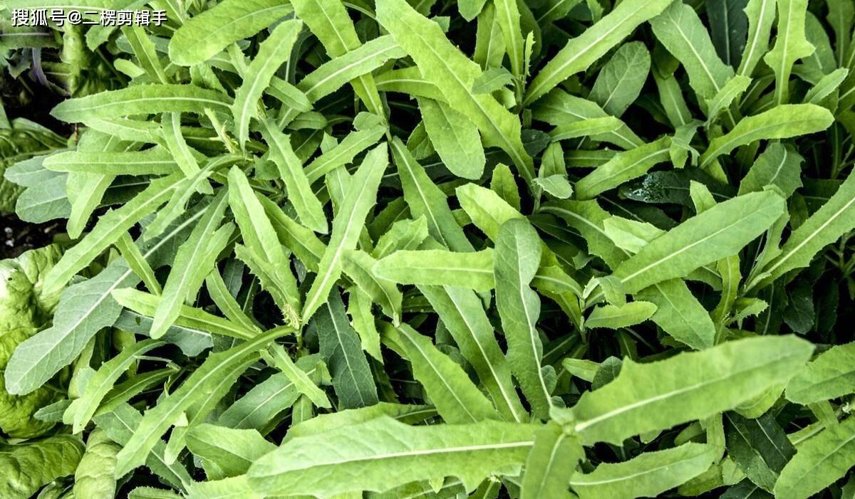夏季菜地容易长杂草怎么办?野菜等有用杂草留着,其他杂草做肥用  菜地里为什么会长天兔丝