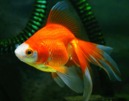 心理测试:假如有4只金鱼,你会养哪只?测你近期身边有什么好事发生  第4张