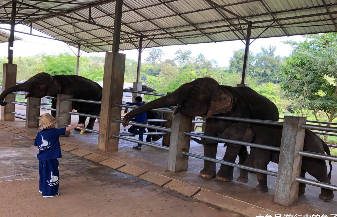 清迈大象保护营,体验饲养员的一天,与大象0距离接触