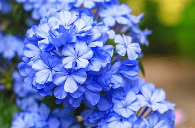 """喜欢养护花卉,就选""""sunbet淡雅""""的蓝雪花,带来清"""