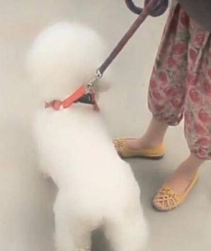 女主帶比熊逛街,遭路人圍堵拍照,網友笑噴:蠟筆小新小白同款!