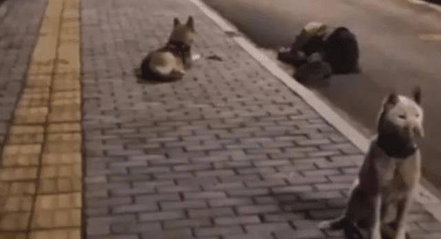 主人深夜醉倒在路边,俩狗狗分工合作:一狗盯手机,一狗看着主人