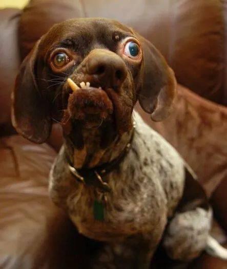 恶狗排行_世界上最丑的狗排行榜十大最丑宠物狗