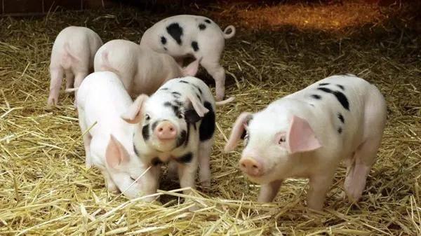 生猪市场量足价跌,养殖户卖一头猪亏七八百元
