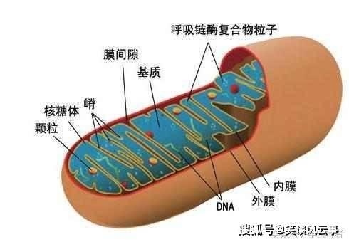 细胞内的物质也在对话,科学家:线粒体可发出信号促使细胞老化